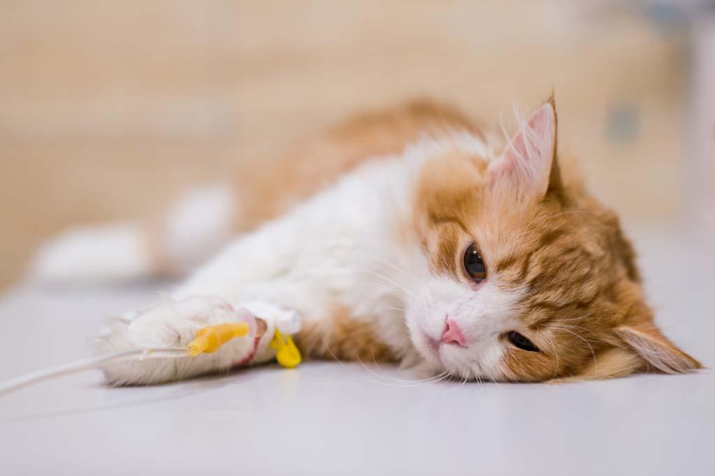 Katze mit Infusion
